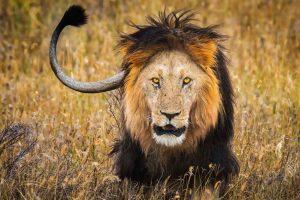 Lion stalking prey