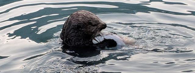 Sea otter in Alaska