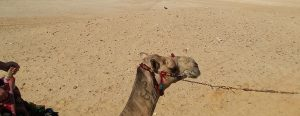 A camel against a sandy background.