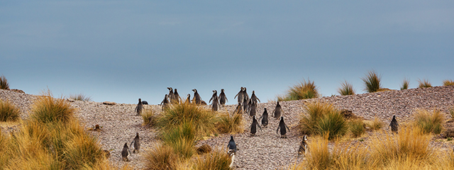 Magellanic Penguins in Patagonia