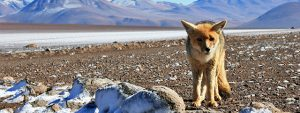 Andean fox in Patagonia