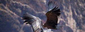Andean condor in Patagonia