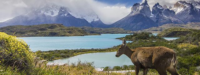 Deer in Patagonia