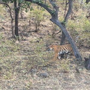 bengal-tiger-ranthambore-national-park-game-drive-india
