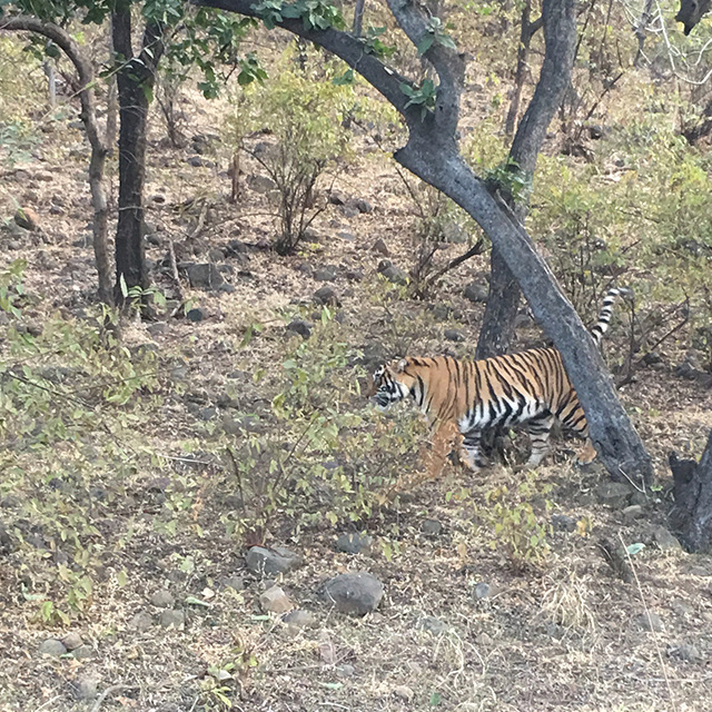 bengal-tiger-ranthambore-national-park-game-drive-india