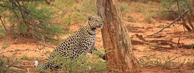 Namibia-Convention-Tour-safari-leopard