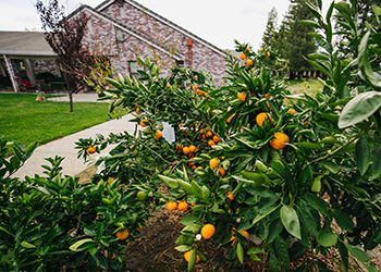 Fruit trees full of oranges for residents to pick and enjoy as they walk around the yard.