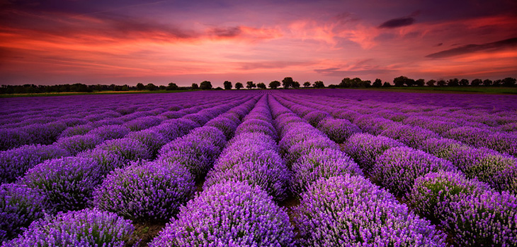 Beautiful flower fields at sunset