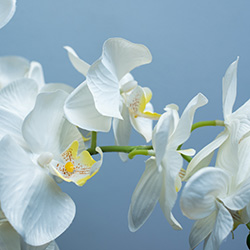 A white orchid in full bloom