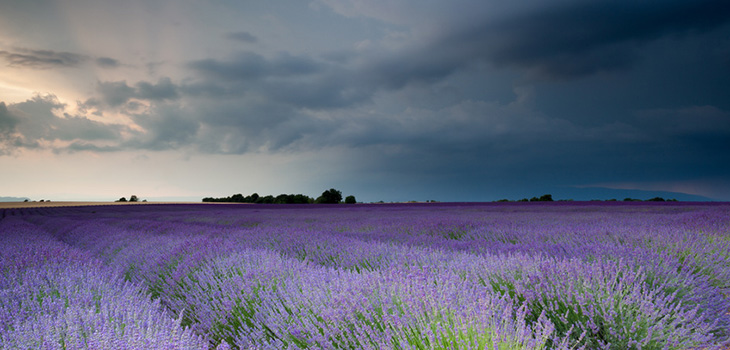 A field of lavender with cloudy skies.