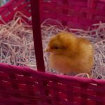 baby chick in a pink easter basket