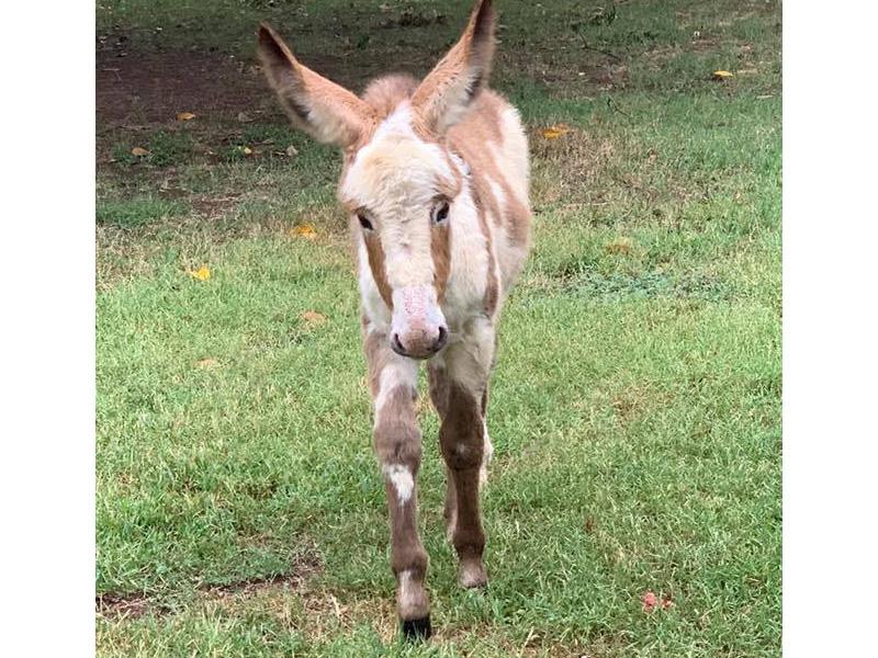 A baby donkey walking around outside.