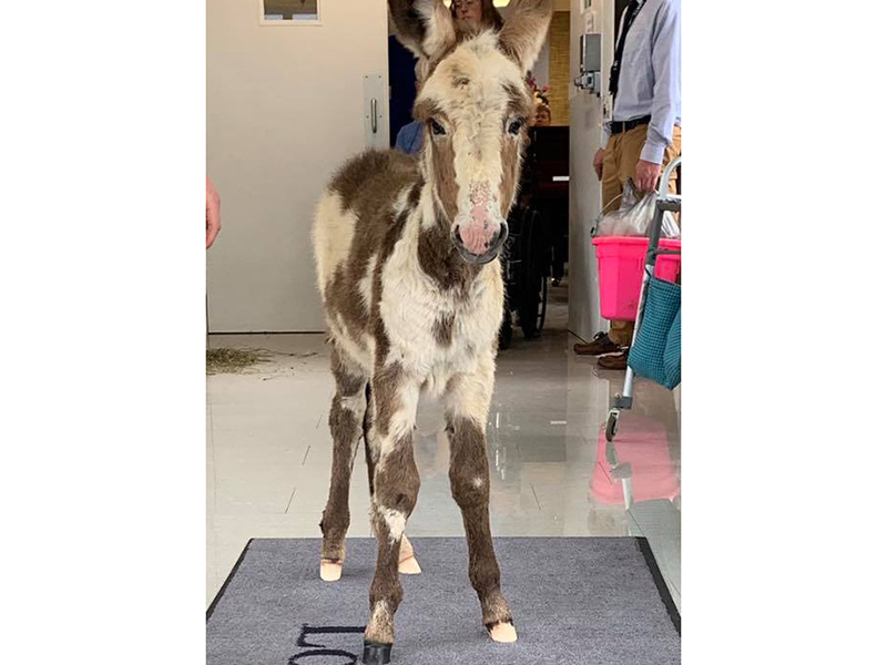 A donkey walking around the facility.