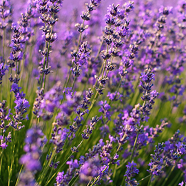 lots of lavender flowers in a field