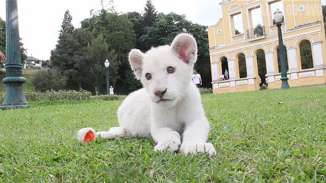 Primeira leoa branca do Brasil visita Curitiba