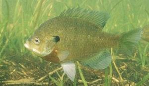 Fish in Tupelo Pond Habitat