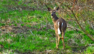 Deer in Mountain Run Station Habitat
