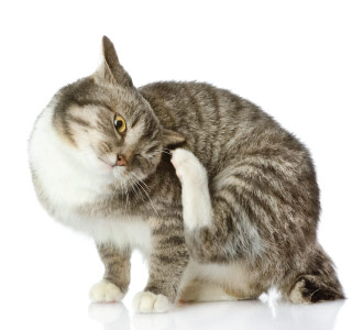 Ticks in cats - how to treat properly