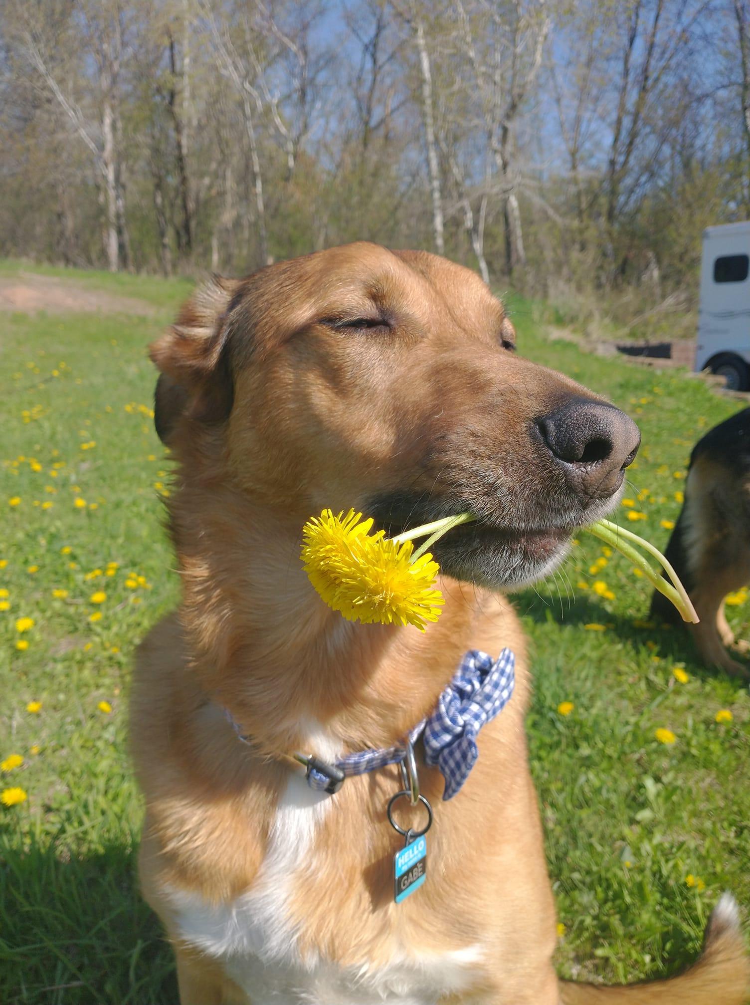 Gabe dandelion