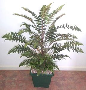 PP48A Leather fern in pot