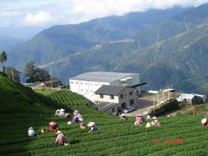 Li Shan High Mountain Oolong Tea Garden