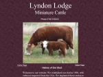 View More Information on Lyndon Lodge Miniature Herefords