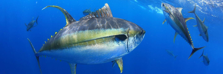 World Tuna Day: How sustainable are tuna fisheries?