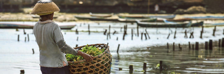 Rebalancing the Indonesian seaweed industry