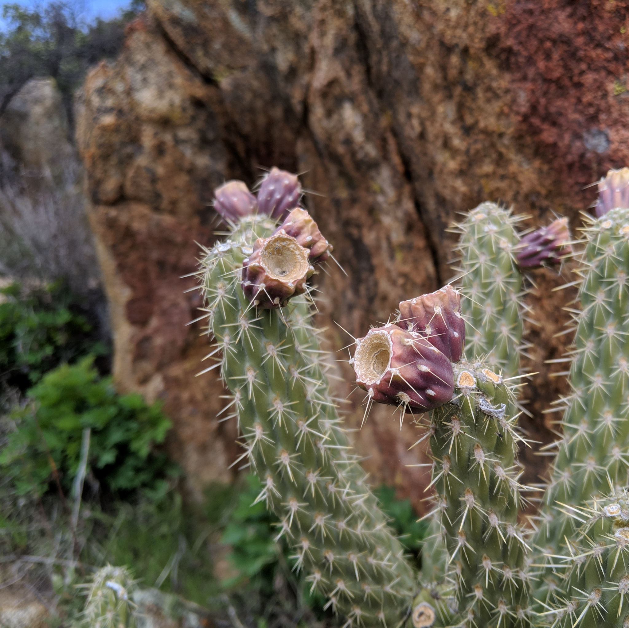 Un cactus en fleurs • A blooming cactus