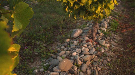 Matthews Lane Vineyard image