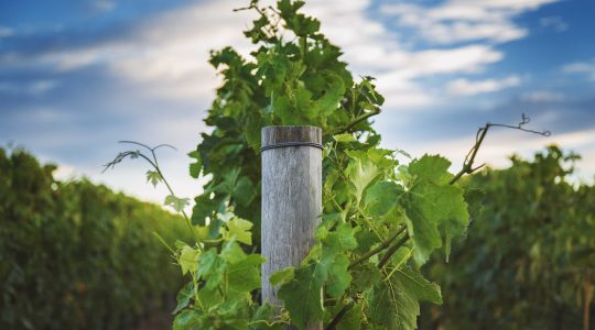 Ridge Block Vineyard image