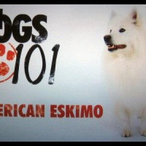 Atka, the AMAZING Eskie! - Animal Entertainment / Actor in Barnegat, New Jersey