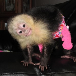 Baby Capuchin Monkey - Animal Entertainment in Fond Du Lac, Wisconsin