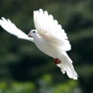 Charlie's Angels White Dove Releases - Dove Release / Wedding Services in West Sayville, New York