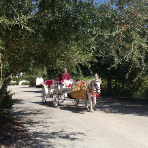 Houston Wedding Horses - Horse Drawn Carriage in Houston, Texas