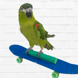 Kiwi, The Skateboarding Parrot - Animal Entertainment / Children's Party Entertainment in Springfield, Missouri