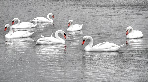 Seven-Swans-A-Swimming