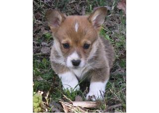 108 - American Corgi Puppy
