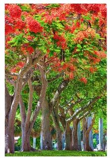 Royal Ponciana Canopy - Photo by Carlos Aristizabal