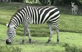 Majestic Zebras