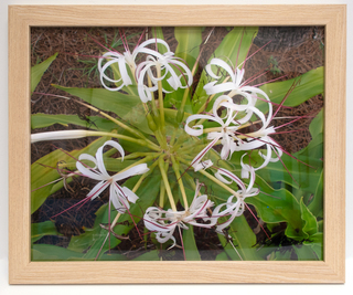 White Spider Flowers