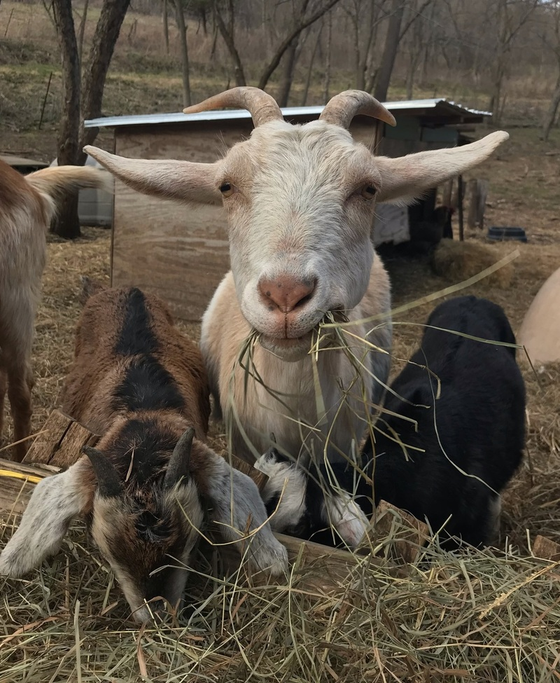 Zoom Meetings with Goats