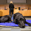 Courthouse Facility Dog Training - Judge & Attorneys