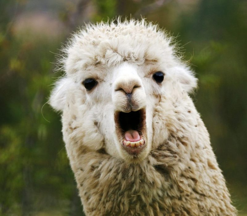 Lucky Llamas