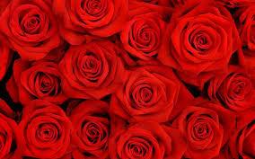 Rose Pedals