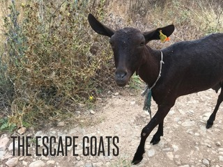 The Escape Goats