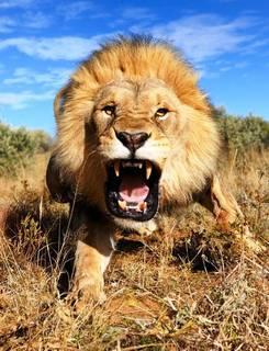 Lion Politicians