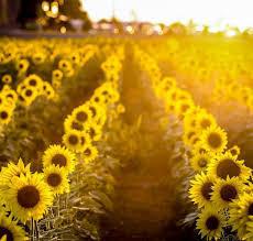 Habitat Sunflowers