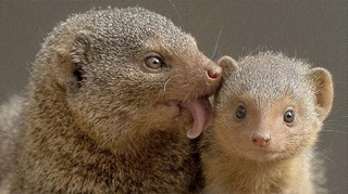 Fighting Mongooses