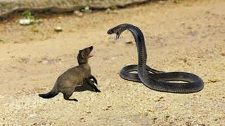 The Cobras